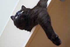 The British Shorthair Cat Stock Photography