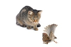 Cat with a sparrow Stock Image