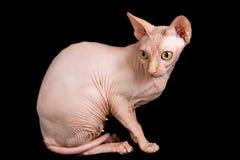 Cat Sphinx Immagini Stock Libere da Diritti