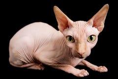 Cat Sphinx Fotografia Stock