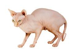 Cat Sphinx Fotografia Stock Libera da Diritti