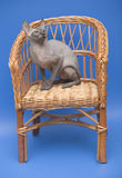 Cat sphinx. Dogs and cats in the most different situations and positions. The sphinx sitting in a wicker chair on a blue background Royalty Free Stock Photography