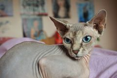 Cat Sphinx Royaltyfri Foto