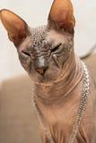 Cat Sphinx con la catena sul collo Immagine Stock
