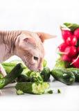 Cat sphinx eating fresh cucumber Stock Photo
