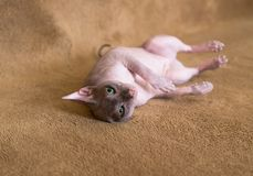 Cat sphinx. Little cat sphinx - resting on a bed Royalty Free Stock Photography
