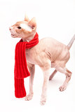 Cat sphinx warm with red scarf Royalty Free Stock Photo