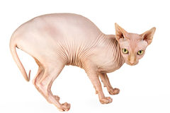 Cat sphinx. Cat a sphinx on a white background in studio Stock Photo
