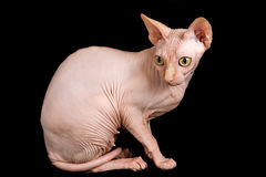 Cat sphinx. Cat a sphinx on a white background in studio Royalty Free Stock Images
