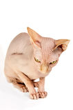 Cat sphinx Royalty Free Stock Photography
