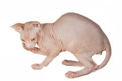 Cat sphinx Stock Photography