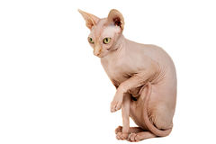 Cat sphinx. Cat a sphinx on a white background in studio Stock Photography