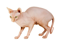 Cat sphinx. Cat a sphinx on a white background in studio Royalty Free Stock Photography