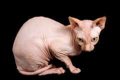 Cat sphinx. Cat a sphinx on a white background in studio Stock Image