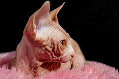 Cat sphinx. Cat a sphinx on a white background in studio Stock Photos