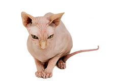 Cat sphinx. Cat a sphinx on a white background in studio Royalty Free Stock Photo