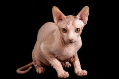 Cat sphinx. Cat a sphinx on a white background in studio Royalty Free Stock Photos