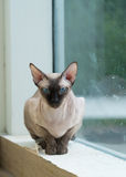 Cat. A Sphinx cat by the window Royalty Free Stock Photo