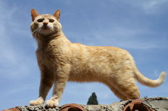 Cat-Sphynx. A cat standing on the roof in sunlight against the blue-sky background Stock Photo
