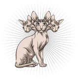 Cat of the Sphynx breed. Royalty Free Stock Image