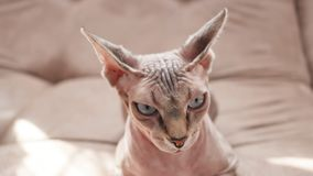 Cat of the Sphynx breed in domestic rubbish. Bald cat. Cat of breed sphinx. Naked cat. A kitten without wool royalty free stock photography