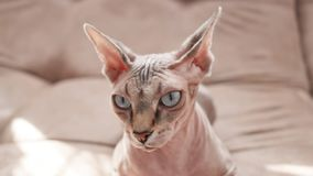 Cat of the Sphynx breed in domestic rubbish. royalty free stock photography