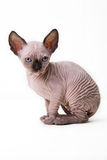 Cat, Sphynx Cat, Kitten. Small breed Sphynx kitten on a white background Stock Image
