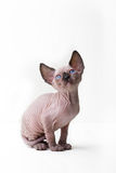 Cat, Sphynx Cat, Kitten. Small breed Sphynx kitten on a white background Royalty Free Stock Photos