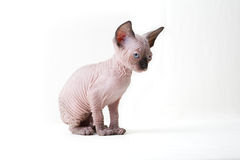 Cat, Sphynx Cat, Kitten. Small breed Sphynx kitten on a white background Royalty Free Stock Image
