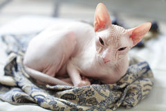 Cat - sphynx hairless kitten Royalty Free Stock Photo
