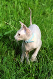 Cat-sphynx (Peterbald) Royalty Free Stock Photography