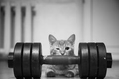 Cat Sportsman Powerlifter Bodybuilder stock afbeeldingen