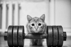Cat Sportsman Powerlifter Bodybuilder Royalty Free Stock Photography