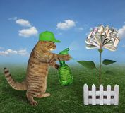 Cat spraying water on a money flower. The cat gardener in a green cap with garden water sprayer is watering the money flower on the farm stock photography