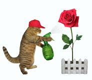 Cat spraying water on a red rose 2 royalty free stock photography