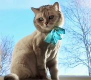 Cat On Spring Cute Funny British Cat white grey Cats Spring Cats. Cat Cute Funny British white grey Cats sit on window,marts cat,spring kitty stock image