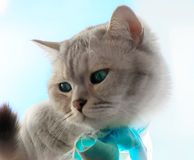 Cat On Spring Cute Funny British Cat white grey Cats Spring Cats stock photos