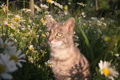 Cat in spring. Cat in a field of flowers Stock Photo