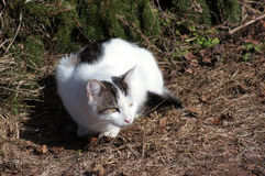 Cat and spruce. hiding. Young white spotted cat on a sunny day at spring near the spruce Stock Photo