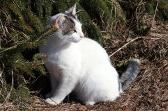 Cat and spruce. look back. Young white spotted cat on a sunny day at spring near the spruce Stock Photos