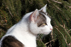 Cat and spruce. portrait 1. Young white spotted cat on a sunny day at spring near the spruce Royalty Free Stock Photos