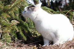 Cat and spruce. sense of smell. Young white spotted cat on a sunny day at spring near the spruce Royalty Free Stock Image