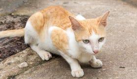 Cat Squat Fotos de Stock Royalty Free