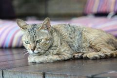 Cat squat on the floor. Cat squat on the wooden floor Royalty Free Stock Photos