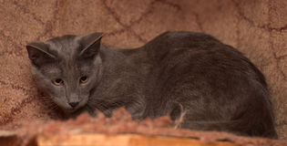 Cat with squinting eyes Royalty Free Stock Photography