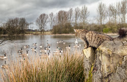 Cat stalking birds. A feral or free-range domestic cat stalking birds at wildlife sanctuary Royalty Free Stock Image