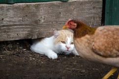 Cat stalking chicken Royalty Free Stock Image