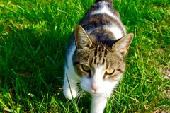 Cat Stalking Royalty Free Stock Images