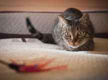 Cat stalking his feather toy Stock Images