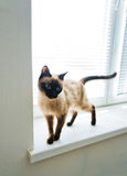 Cat stand on windowsill Stock Photos